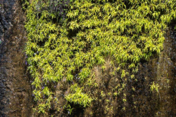 Pinguicula longifolia